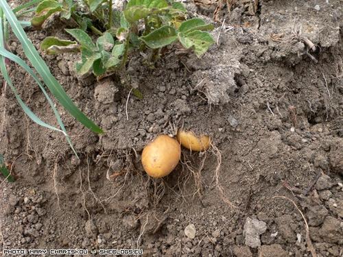 patates-mpostani
